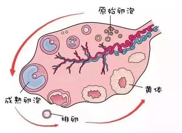 郑州不孕不育医院大全-怎么治疗多囊卵巢?